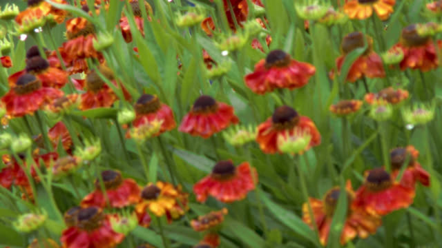 flowers in the rain - johnfscott stock videos & royalty-free footage