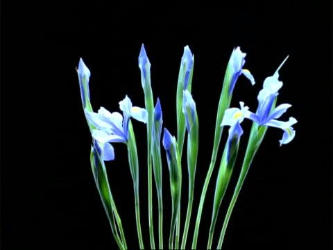 t/l flowers - mcu blue irises open, black background - iris plant stock videos & royalty-free footage