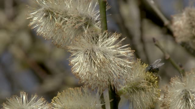 Flowers of a willow tree waving in the wind