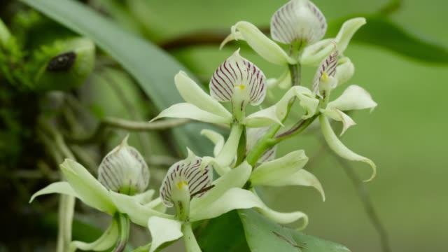 flowers of anacheilium fragrans orchid (possibly anacheilium aemulum). - ラン点の映像素材/bロール