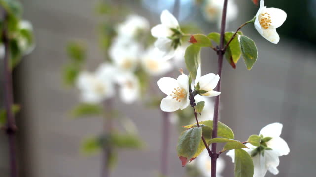 stockvideo's en b-roll-footage met bloemen van apple. - mei