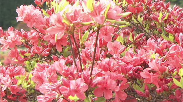 vídeos de stock e filmes b-roll de flowers of azalea   zoom in - estame