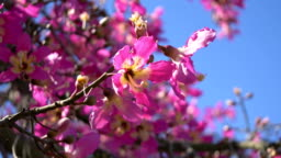 Flowers of cherry tree in 4K