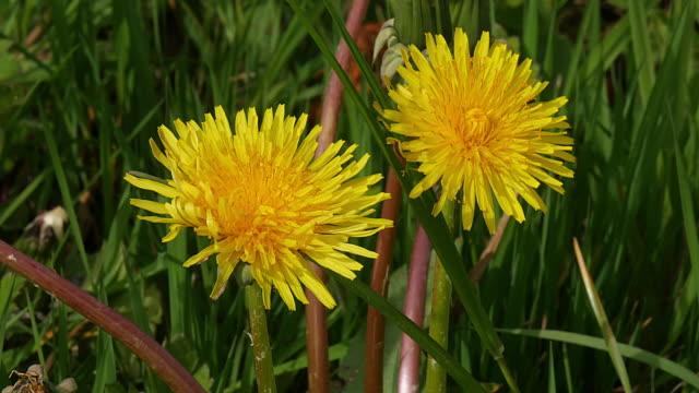 vidéos et rushes de flowers of common dandelion in the wind, taraxacum officinale, normandy, real time 4k - normandie