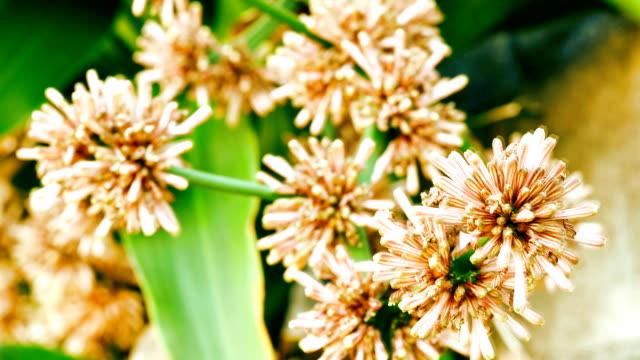 Drachenbaum fragrans Blumen