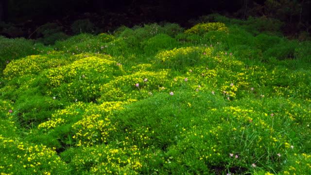 vídeos y material grabado en eventos de stock de flowers of erizon (echinospartum horridum), garganta de escuain, ordesa y monte perdido national park, huesca province, aragon, spain, europe - comunidad autónoma de aragón