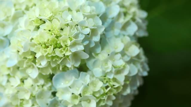 vídeos y material grabado en eventos de stock de flores de hortensia - hortensia