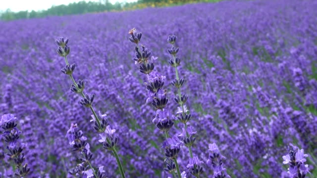 Flowers of Lavender known as a symbol of summer in Japan for its cool blue color are in full blossom on Monday July 20 at a tourist farm called Farm...
