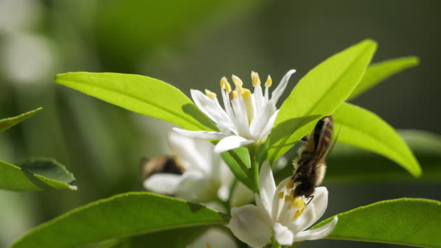 flowers of mandarin orange during the summer season - orchard stock videos & royalty-free footage