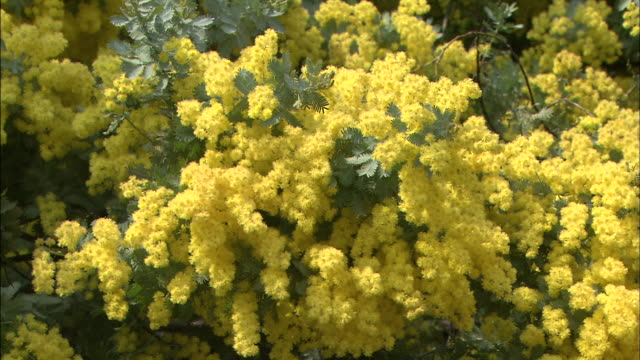 Flowers of Mimosa  Garden of olives Up   Pan Right