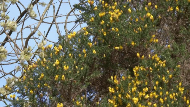 Flowers on a gorse bush and willow tree waving in the wind