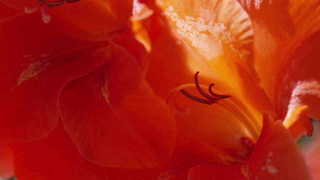 vídeos de stock e filmes b-roll de flowers on cortes island - gladiolus