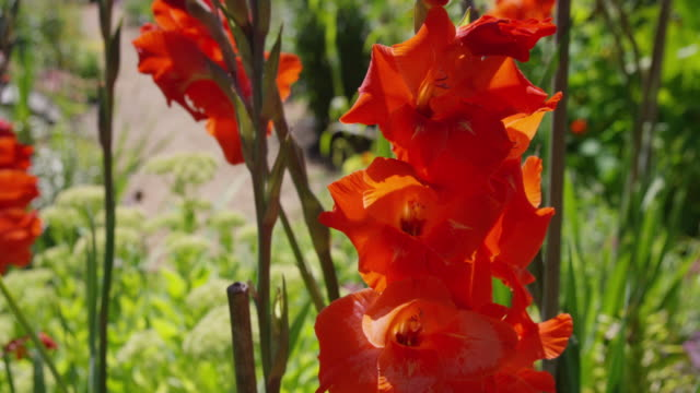 flowers on cortes island - gladiolus stock-videos und b-roll-filmmaterial