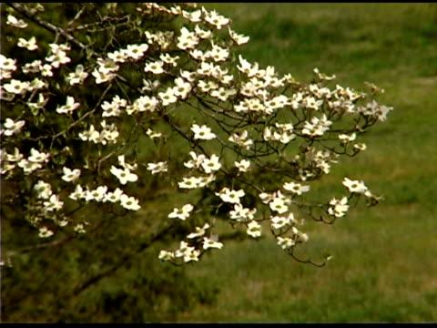 vídeos de stock e filmes b-roll de flowers on dogwood tree blowing in the wind - cornus