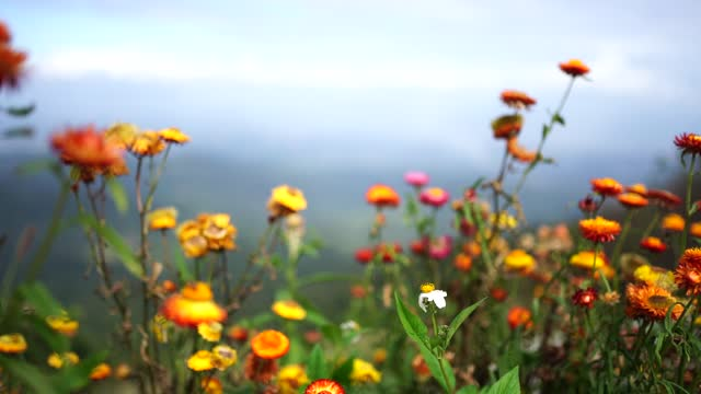 flowers on the mountain in cold weather.beautiful straw flowers. - eternity stock videos & royalty-free footage