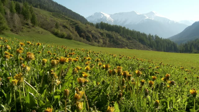 flowers opening up, dandelion, spring - switzerland stock videos & royalty-free footage