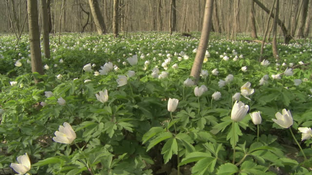 flowers opening up, thimbleweed, anemone nemorosa - open field stock videos & royalty-free footage