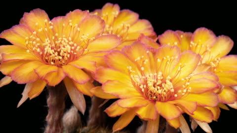 flowers orange timelapse of blooming cactus - flower head stock videos & royalty-free footage