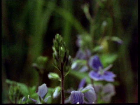 t/l flowers, speedwell flowering, england, uk - decay stock videos & royalty-free footage