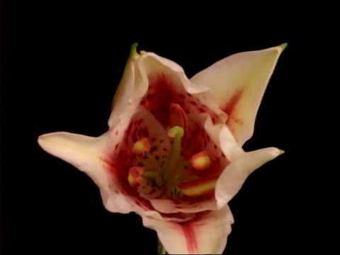 t/l flowers - stargazer lily opens, black background - stargazer lily stock videos & royalty-free footage