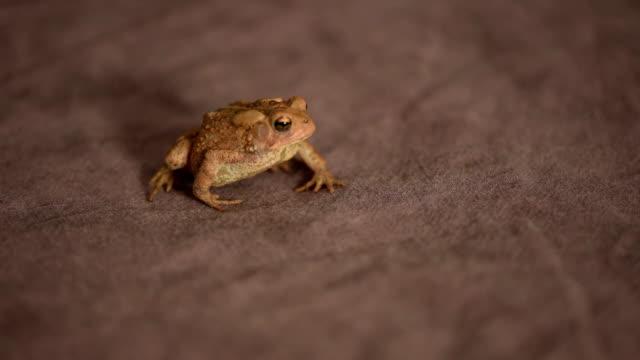 vídeos de stock e filmes b-roll de flower's toad posting for a medium shot in studio - sapo