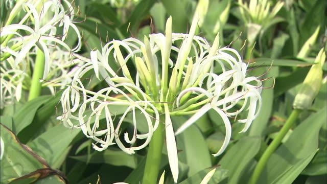 vídeos y material grabado en eventos de stock de flowers   up - hymenocallis caribaea
