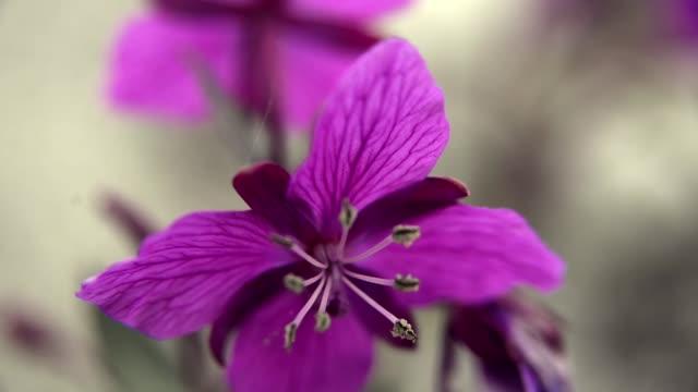 vídeos y material grabado en eventos de stock de flowers - rosa brillante