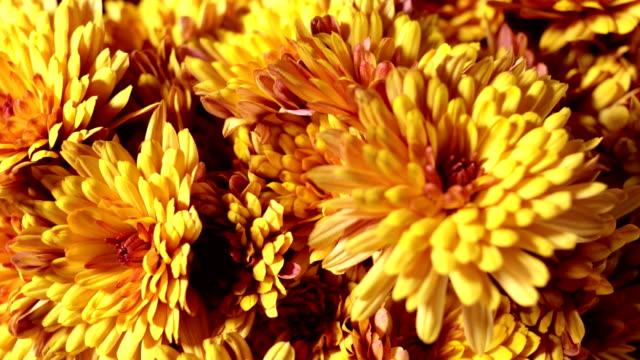 vídeos y material grabado en eventos de stock de flores - crisantemo