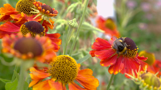 flowers with a bumblebee collecting pollen - johnfscott stock videos & royalty-free footage
