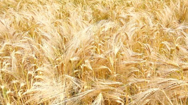 stockvideo's en b-roll-footage met flowing wheat - volkorentarwe