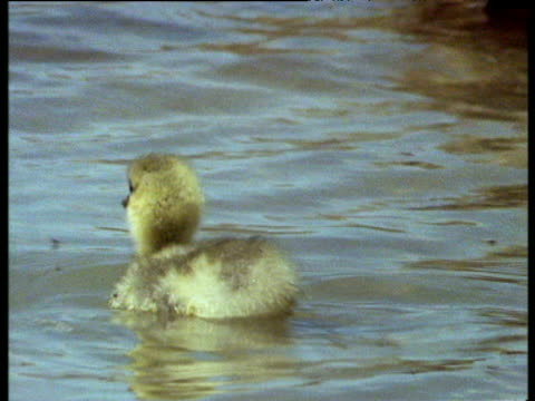 fluffy bar headed gosling swims along on lake to join others - gosling stock videos & royalty-free footage