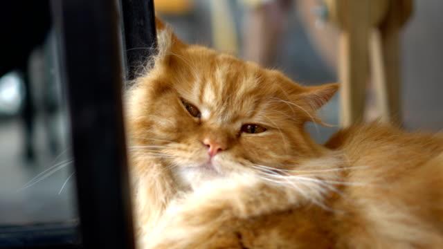 vídeos y material grabado en eventos de stock de gato mullido descanso en la cafetería antes de cerrar los ojos - cabello largo