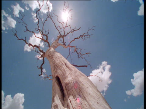 fluffy clouds scud in blue sky over dead acacia tree - branch stock videos & royalty-free footage