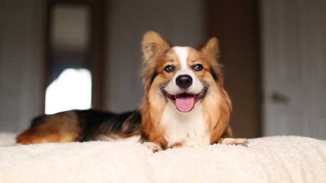 Fluffy corgi puppy on a bed