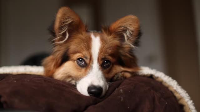vídeos de stock e filmes b-roll de fluffy corgi puppy on a bed - bocejar
