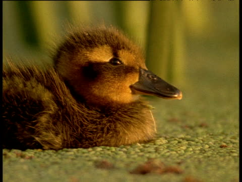 vídeos de stock e filmes b-roll de fluffy cuckoo duck duckling bobs and dabbles amongst reeds in swamp, - vida de bebé