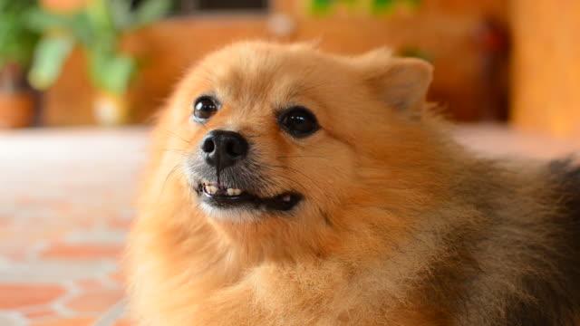 fluffy cute pomeranian dog - animal ear stock videos & royalty-free footage