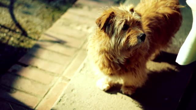 stockvideo's en b-roll-footage met pluizige hond rondkijken - sunny