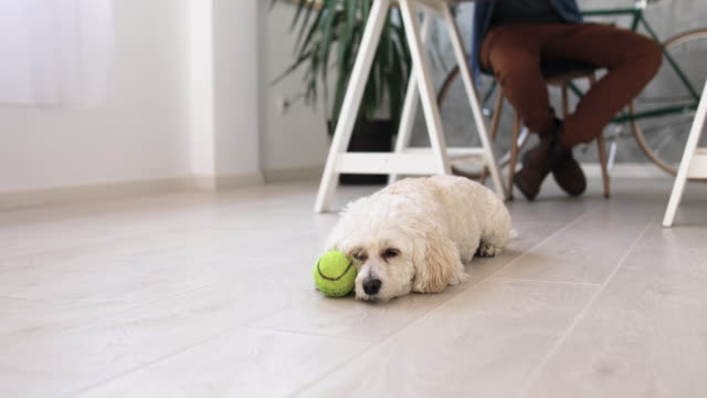 fluffy dog, resting in office - tennis ball stock videos & royalty-free footage