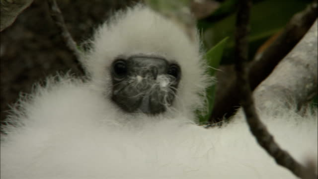 fluffy down covers a masked booby chick. - fluffy stock videos & royalty-free footage