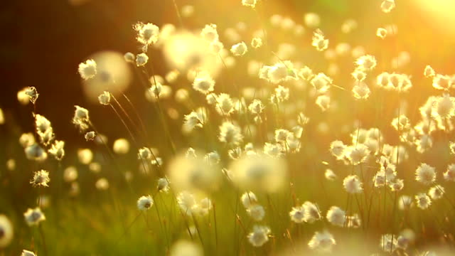 fluffy flowers that sway - meadow stock videos & royalty-free footage