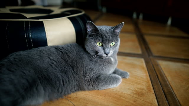 fluffy grey cat lying on the floor at home indoor. - animal body part stock videos & royalty-free footage