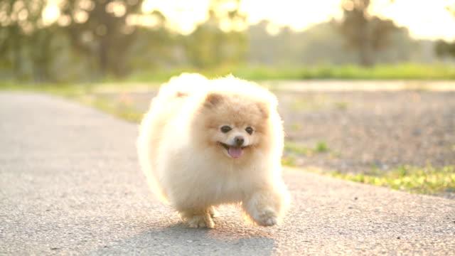 slo mo - fluffy pomeranian dog running - lap dog stock videos & royalty-free footage