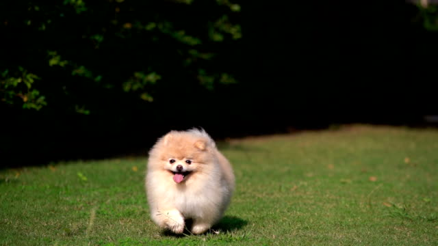 slo-mo fluffy pomeranian dog running with joy - niedlich stock-videos und b-roll-filmmaterial