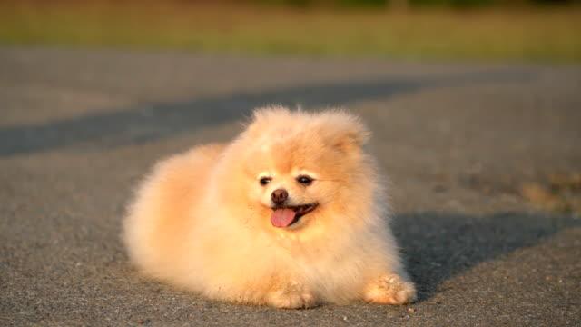 stockvideo's en b-roll-footage met pluizige pommeren hond zonnen - verfrissing