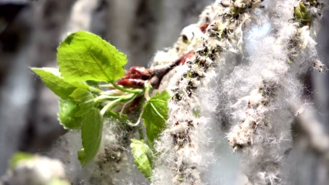 stockvideo's en b-roll-footage met fluffy seeds of silver poplar, abele, populus alba - twijg