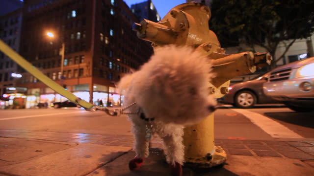 Fluffy White Dog Marking Yellow Fire Hydrant