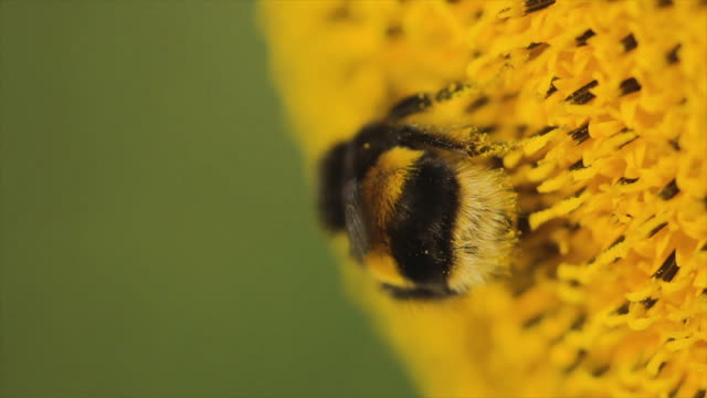 fluffy white-tailed bumblebee on a sunflower - bee stock videos & royalty-free footage