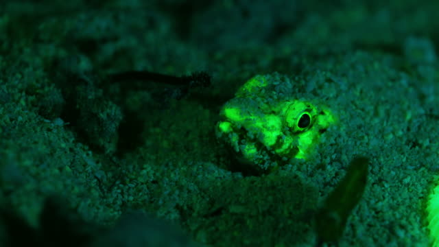fluorescent fish in the sand under water in philippines - batangas province stock videos and b-roll footage