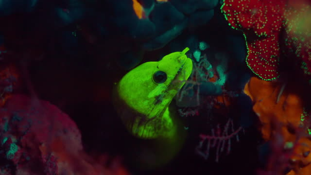 fluorescent moray eel under water in philippines - neon stock videos & royalty-free footage